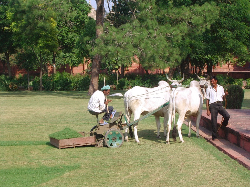 cows mowing the lawn in the compound of Taj Mahal