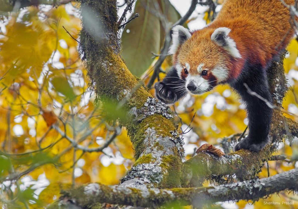 Introducing the Red Panda and Where to find it in India – Varun Mani