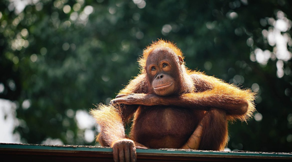 A VISIT TO THE SEPILOK ORANGUTAN REHABILITATION CENTRE