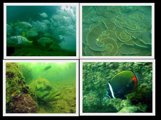 Fish around SS Rita ship. from top left: Striped Grunt, plate corals. From bottom left Grouper & Red tailed butterfly fish